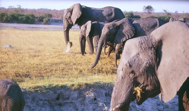 10-elephants grazing botswana