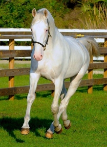 White Bliss, a harness horse, training at Palema Trotting west of Vero Beach.