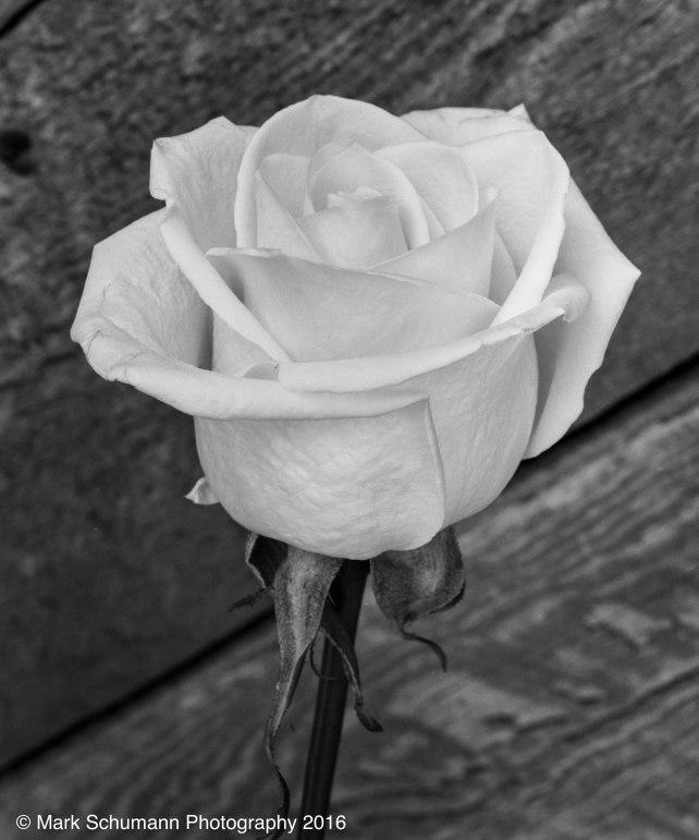 Rose_2_072716